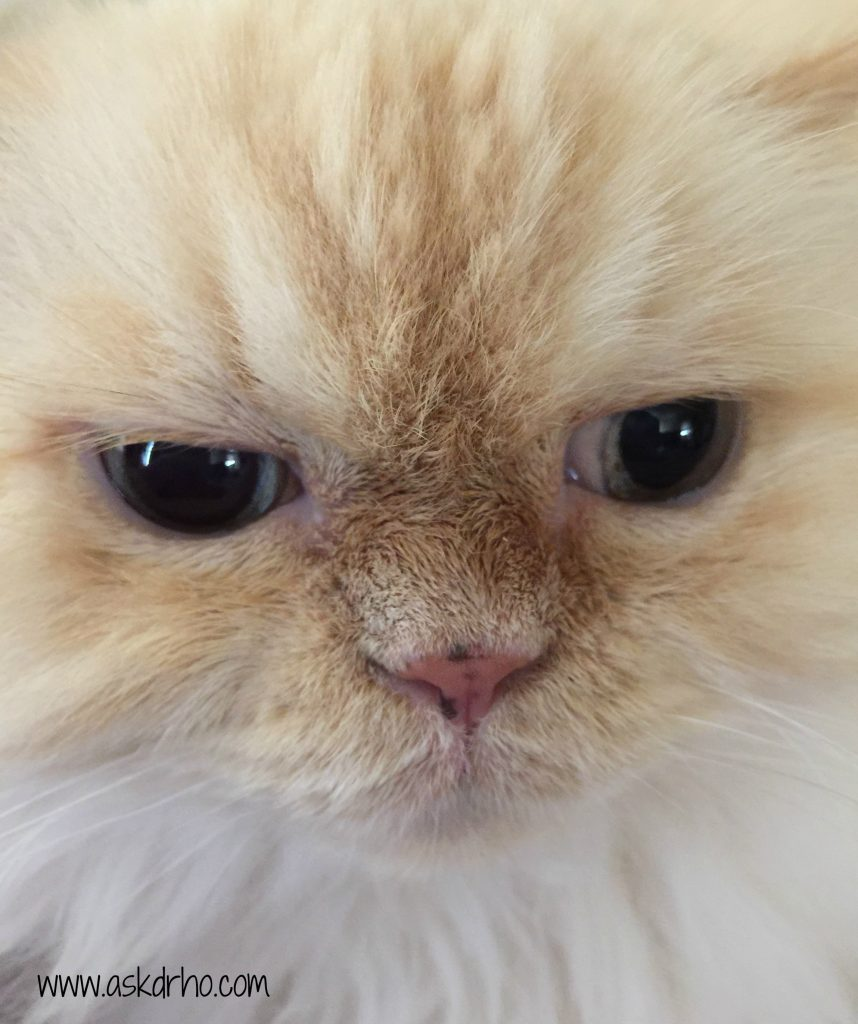 Our Himalayan Kitty is mad at me but has really clean eyes thanks to Wipe Away Those Tears.
