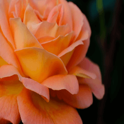 a blooming rose
